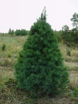 white pines have good needle retention but have little aroma white pines are beautiful soft natural trees they arent recommended for heavy ornaments - White Pine Christmas Tree